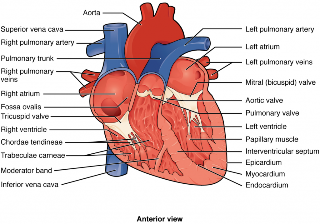 Internal structures of the heart.