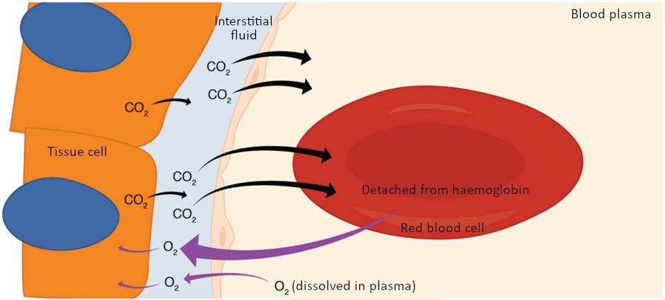 Diagram of internal respiration