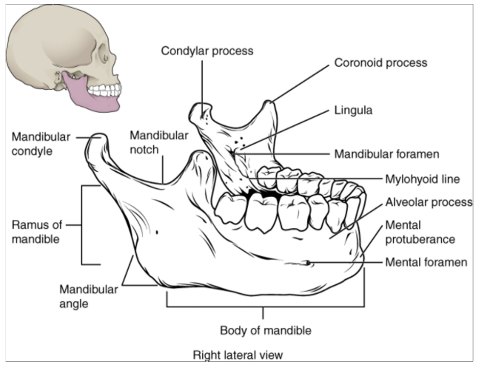 Diagram of Isolated mandible