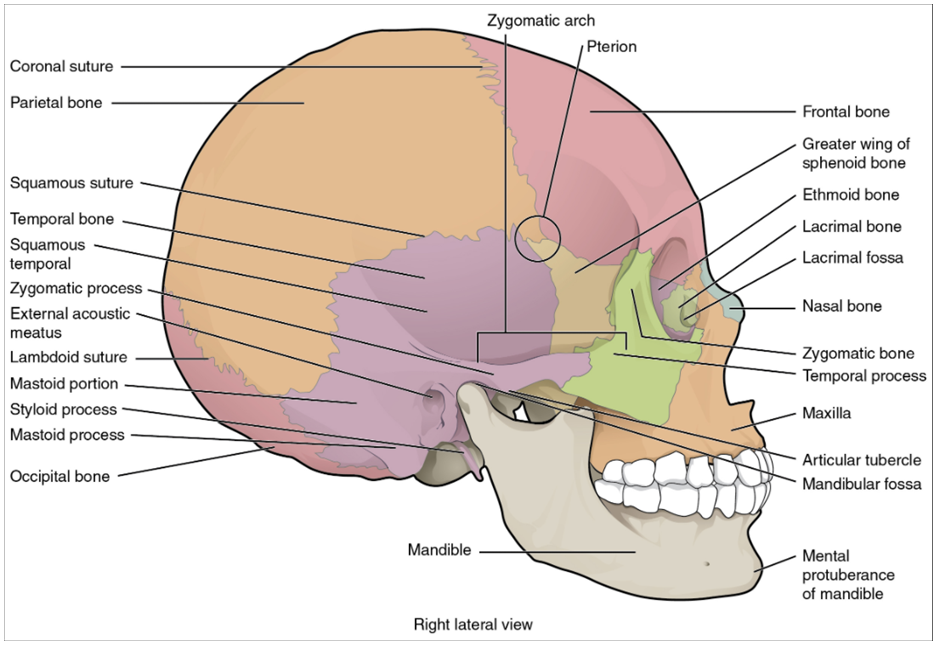Lataeral view of skull