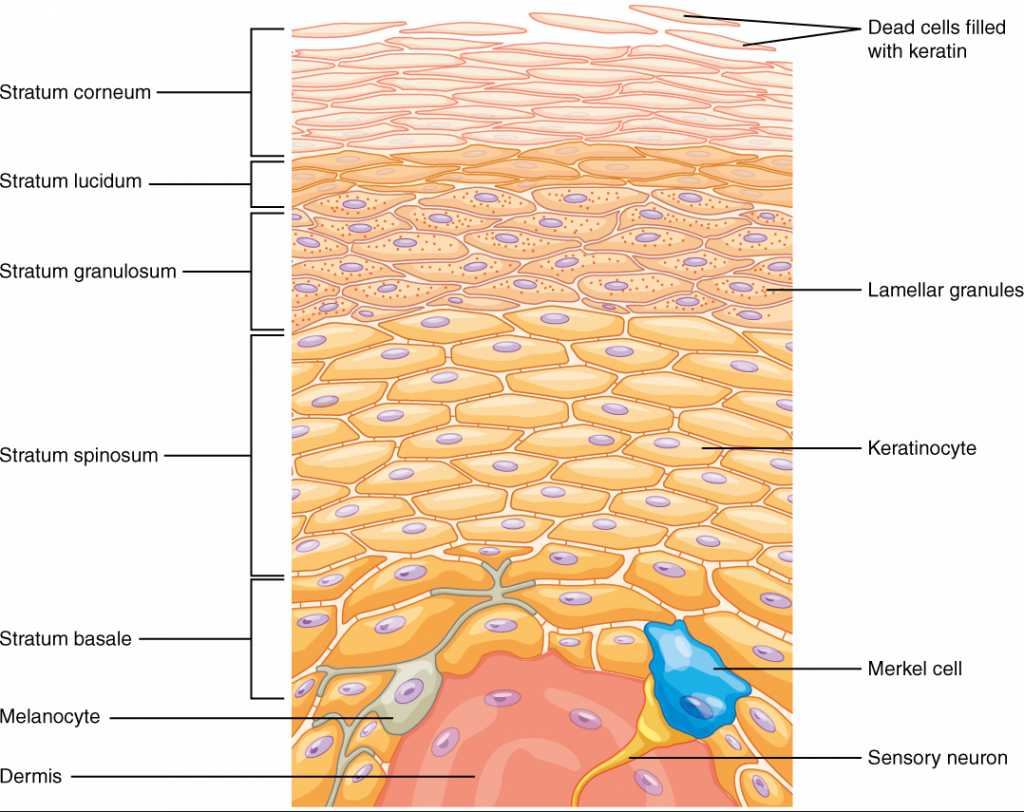 Diagram of layers of epidermis
