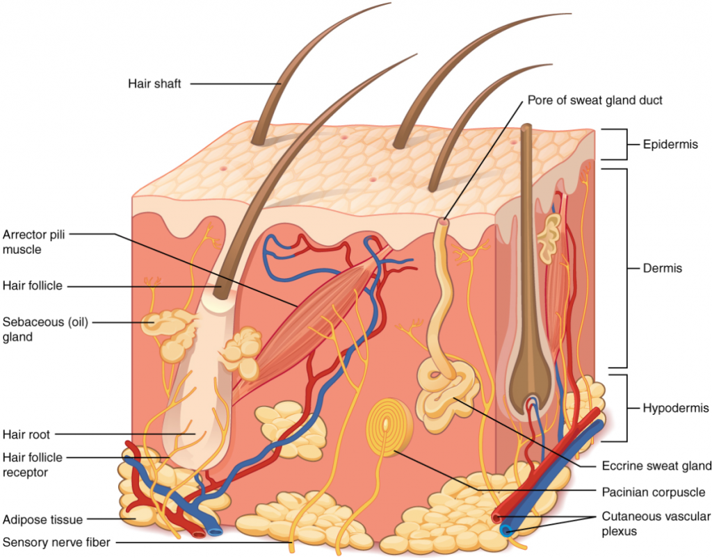 Diagram on the layers of skin