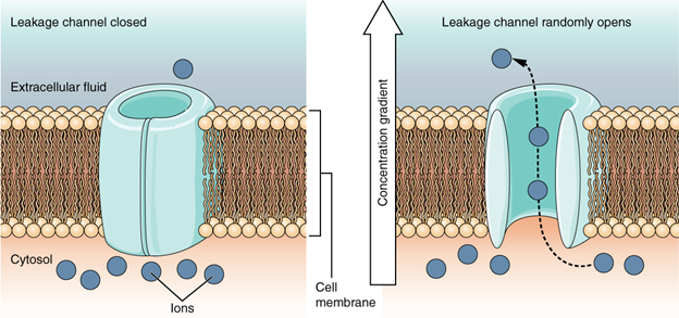 Leakage channels. In certain situations, ions need to move across the membrane randomly. The particular electrical properties of certain cells are modified by the presence of this type of channel.