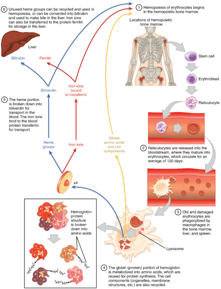 Diagram of Erythrocyte lifecycle