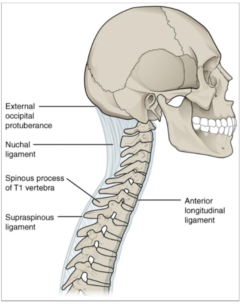 Diagram of Ligaments of vertebral column