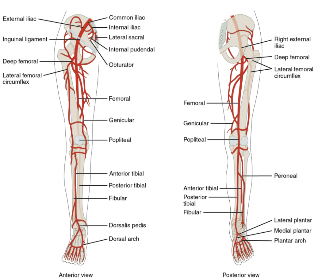 Major arteries serving the lower limb are shown in anterior and posterior views.