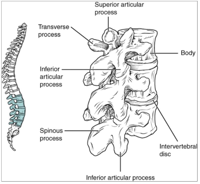 Diagram of Lumbar vertebrae