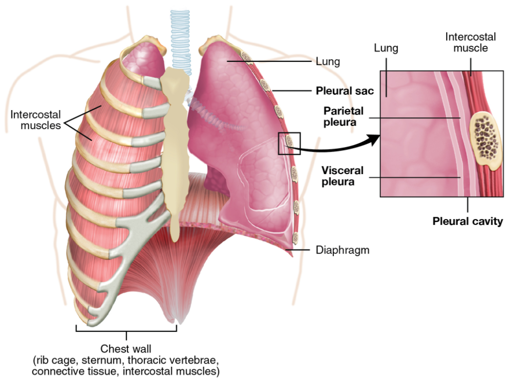 Parietal and visceral pleurae of the lungs.