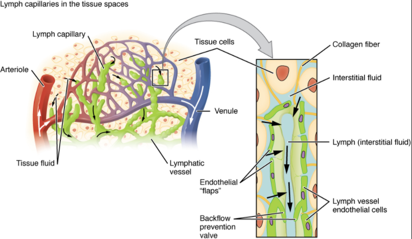 Diagram of Lymphatic capillaries