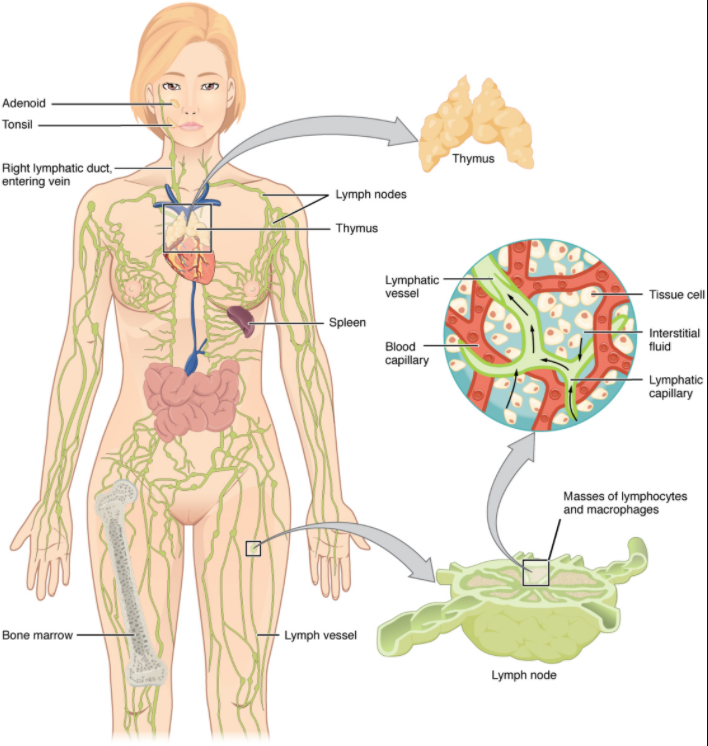 Anatomy of the lymphatic system ina diagram
