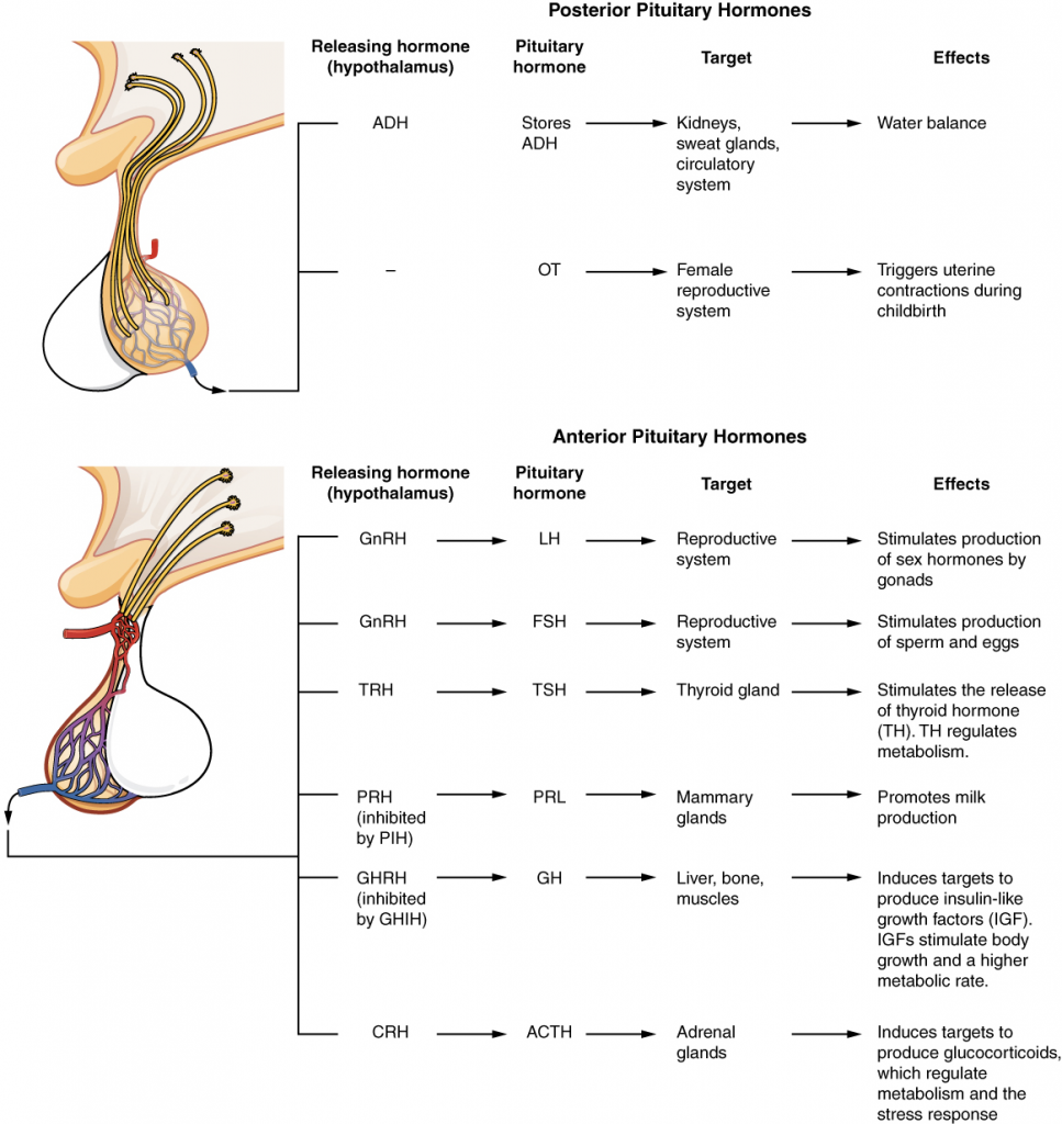 Major pituitary hormones and their target organs.