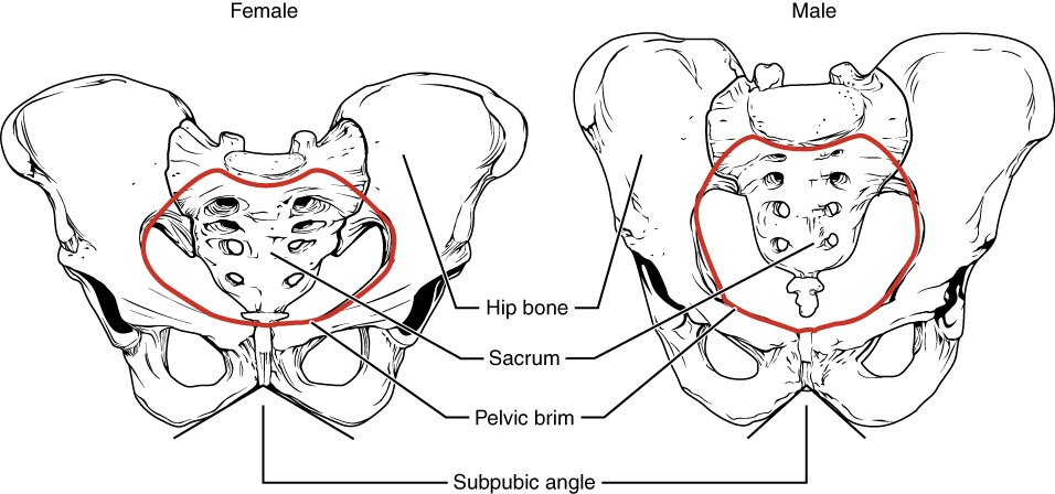 Male and female pelvis.