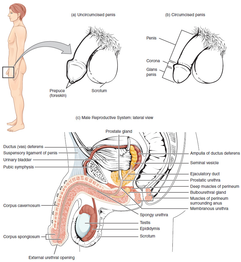 Diagram of male reproductive system