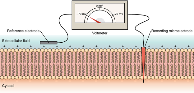 Diagram Measuring charge across a membrane with a voltmeter
