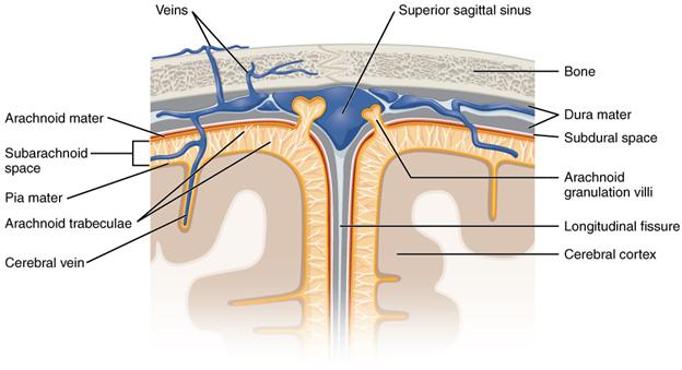 Meningeal layers of superior sagittal sinus
