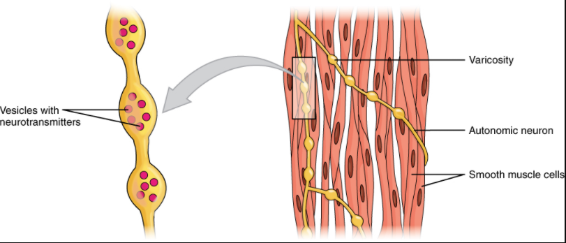 """A series of axon-like swelling, called varicosities or """"boutons,"""" from autonomic neurons form motor units through the smooth muscle."""