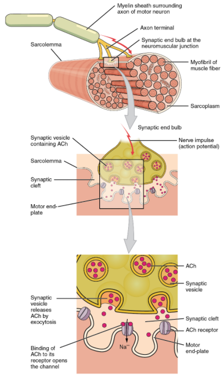 Motor end-plate and innervation. At the NMJ, the axon terminal releases ACh. The motor end-plate is the location of the ACh-receptors in the muscle fibre sarcolemma. When ACh molecules are released, they diffuse across a minute space called the synaptic cleft and bind to the receptors.