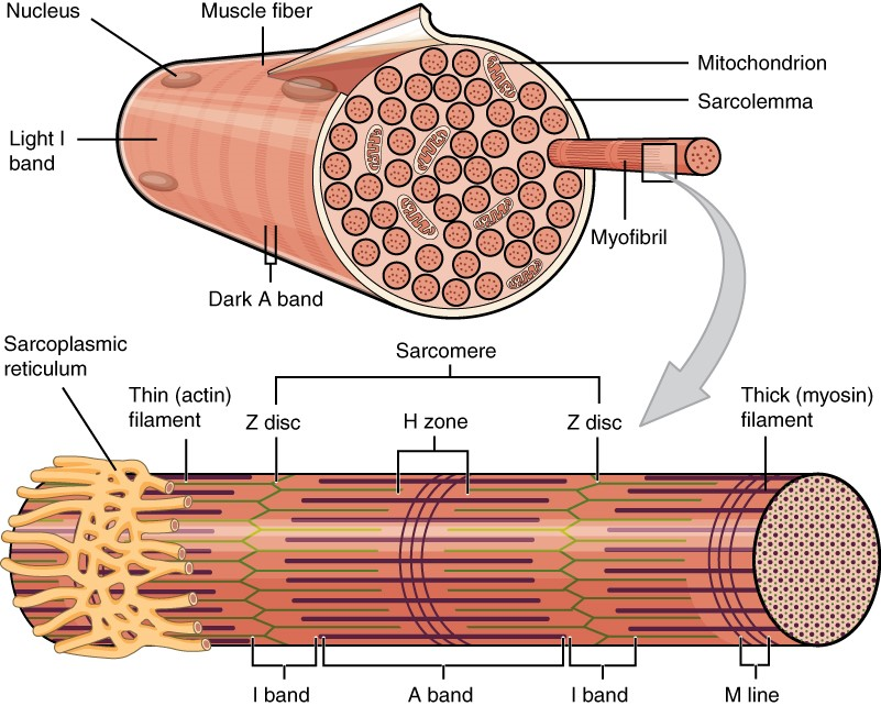 A skeletal muscle fibre is surrounded by a plasma membrane called the sarcolemma, which contains sarcoplasm, the cytoplasm of muscle cells.