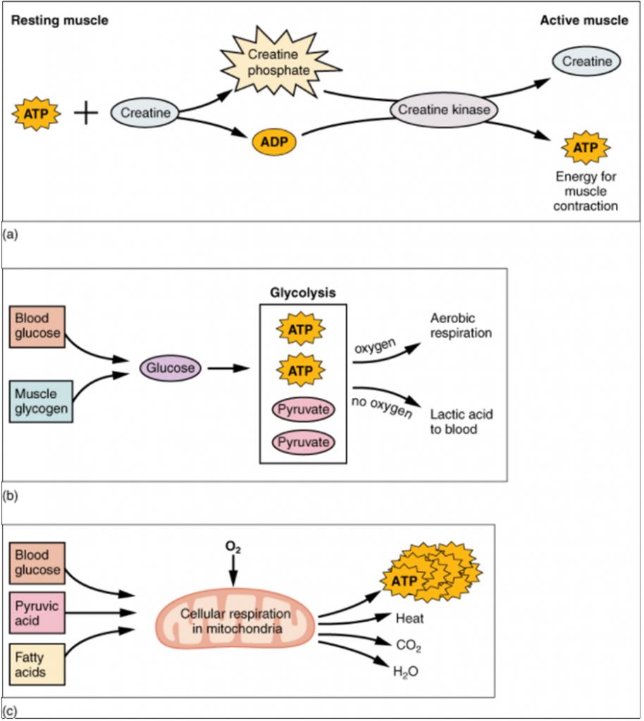 Diagram of muscle metabolism