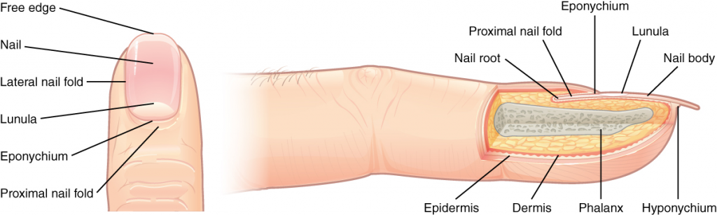 Diagram of different parts of the nail