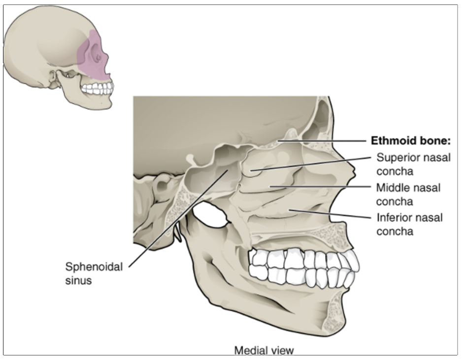 Figure 10.9.11. Lateral wall of nasal cavity. The three nasal conchae are curved bones that project from the lateral walls of the nasal cavity. The superior nasal concha and middle nasal concha are parts of the ethmoid bone. The inferior nasal concha is an independent bone of the skull.