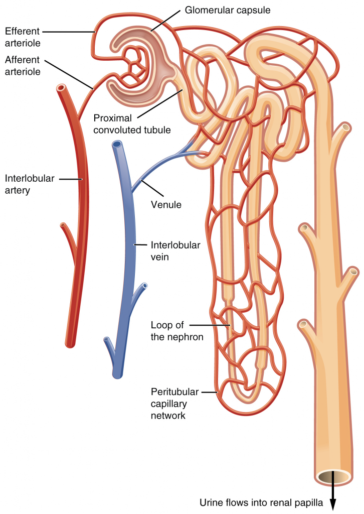 Blood flow in the nephron