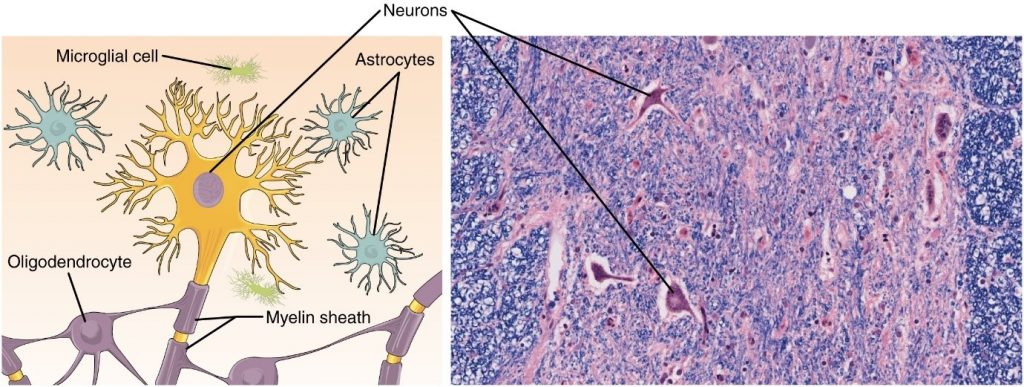 Diagram and phto of nervous tissue