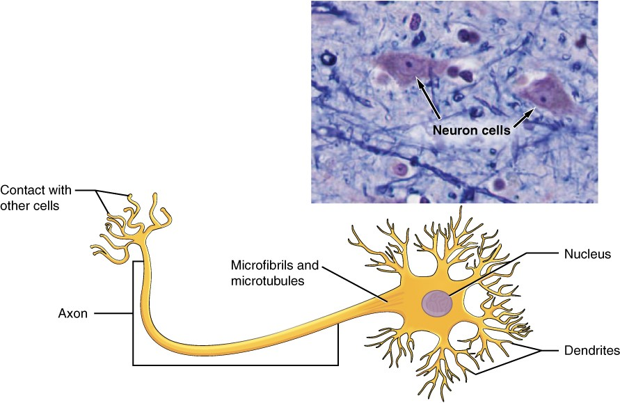 Diagram and photo of neuron