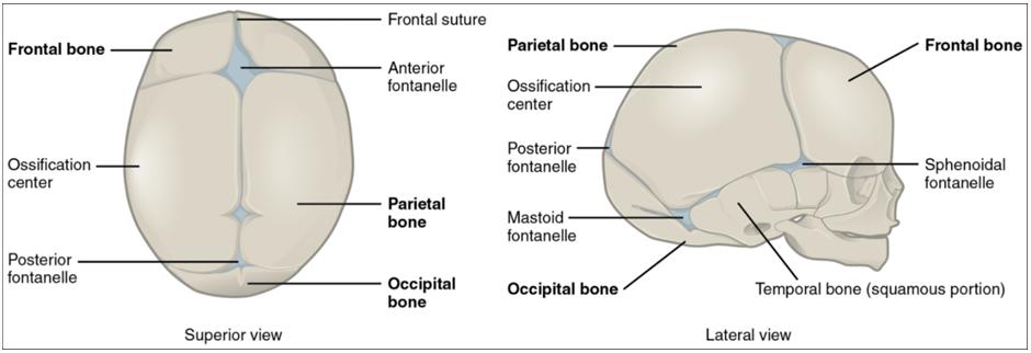 Diagram of newborn skull