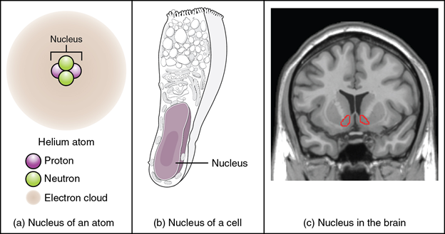 (a) The nucleus of an atom contains its protons and neutrons. (b) The nucleus of a cell is the organelle that contains DNA. (c) A nucleus in the CNS is a localised centre of function with the cell bodies of several neurons, shown here circled in red.