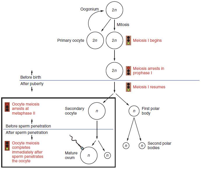 Diagram of Oogenesis