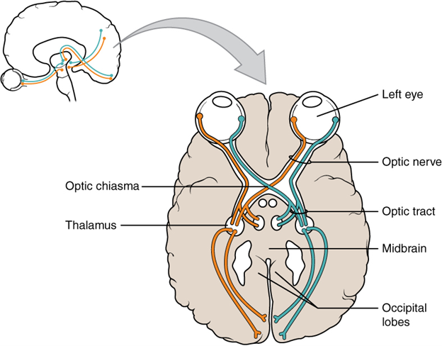 This drawing of the connections of the eye to the brain shows the optic nerve extending from the eye to the chiasm, where the structure continues as the optic tract.