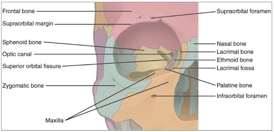 Diagram of bones of the orbit