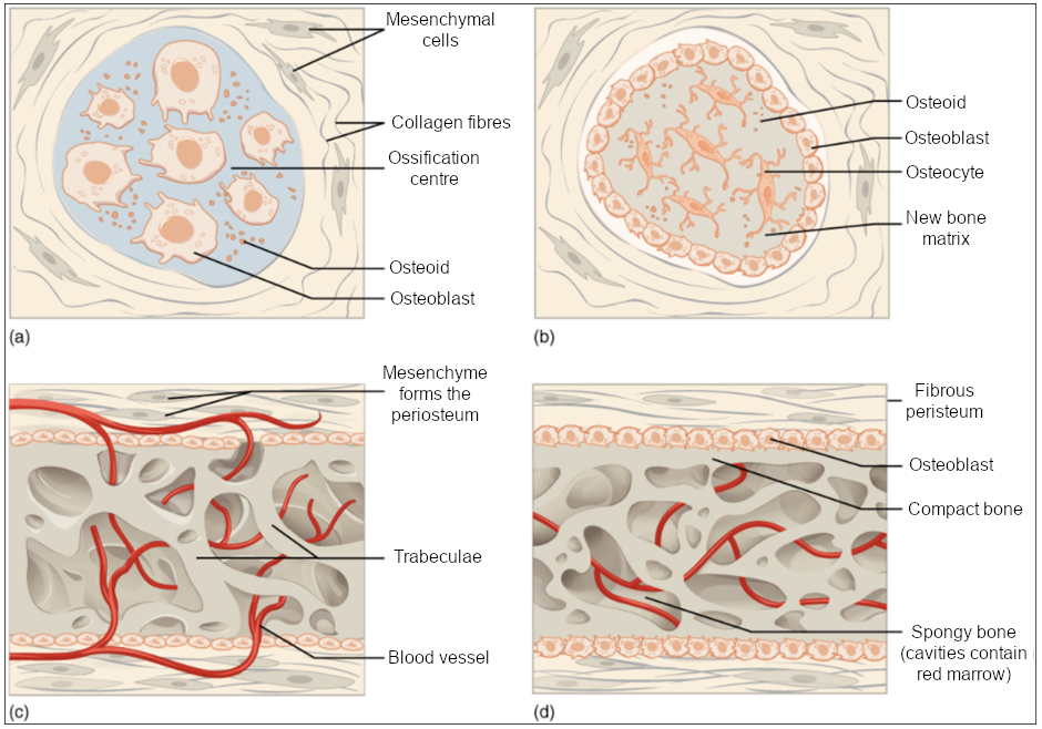 (a) Mesenchymal cells group into clusters, and ossification centres form. (b) Secreted osteoid traps osteoblasts, which then become osteocytes. (c) Trabecular matrix and periosteum form. (d) Compact bone develops superficial to the trabecular bone, and crowded blood vessels condense into red marrow.