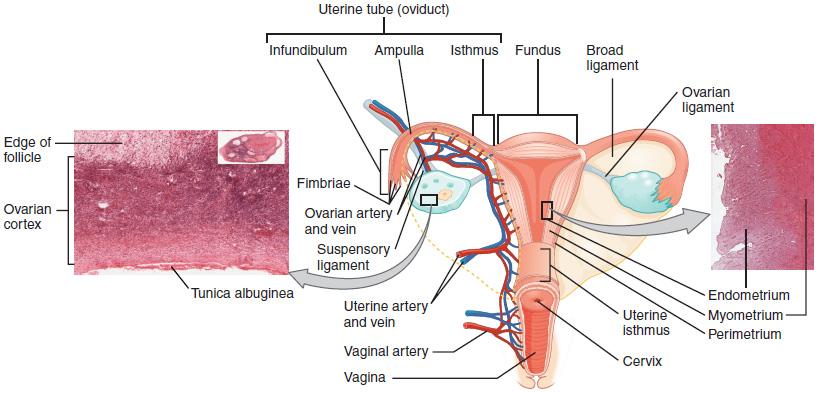 Ovaries, uterine tubes, and uterus