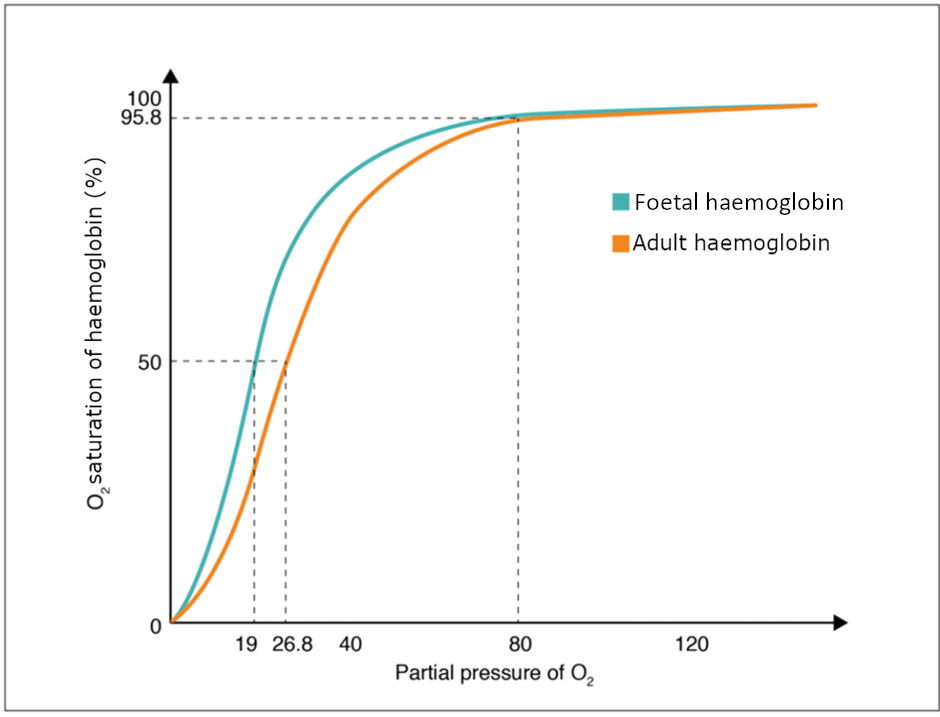 Graph of Oxygen-haemoglobin dissociation curves in foetus and adult.