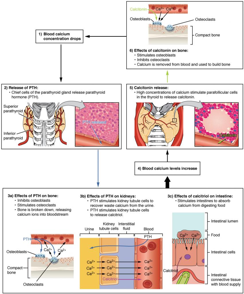 Diagram of Parathyroid hormone in maintaining blood calcium homeostasis