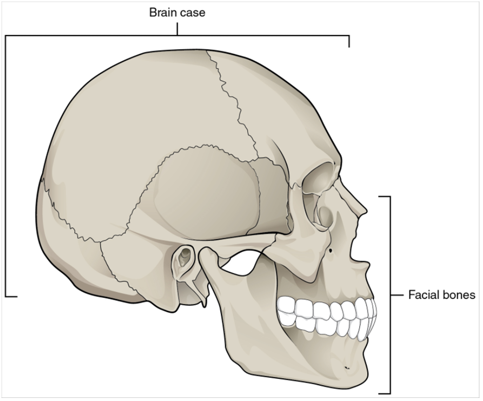 Parts of the skull.