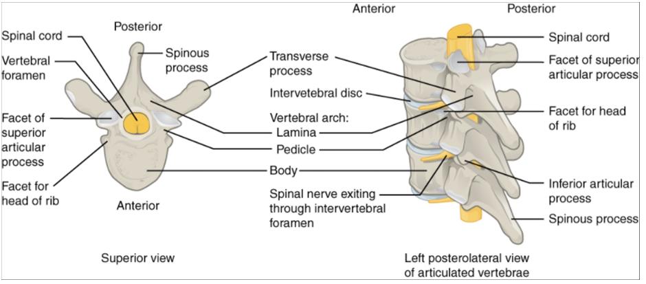 Diagrams of Parts of a typical vertebra