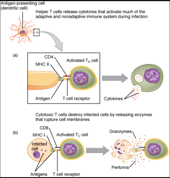 (a) CD4 is associated with helper and regulatory T cells. An extracellular pathogen is processed and presented in the binding cleft of a class II MHC molecule, and this interaction is strengthened by the CD4 molecule. (b) CD8 is associated with cytotoxic T cells. An intracellular pathogen is presented by a class I MHC molecule, and CD8 interacts with it.