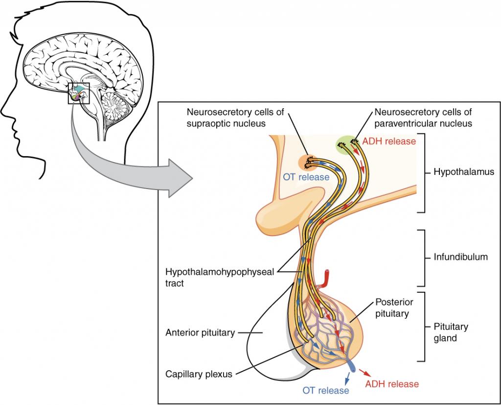 Posterior pituitary diagram