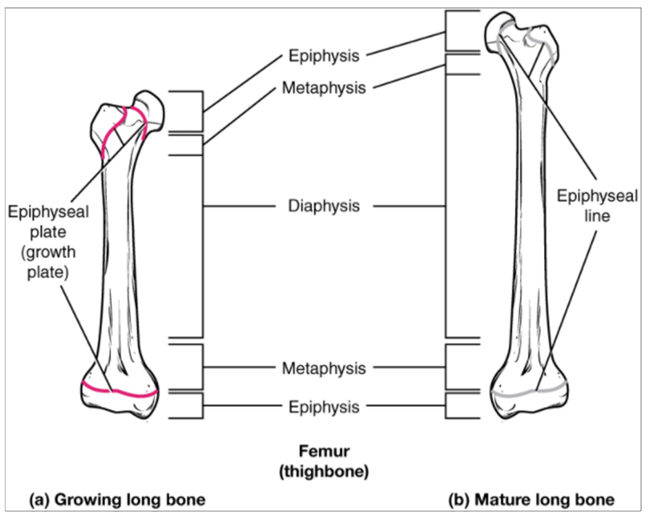 (a) Epiphyseal plates are visible in a growing bone. (b) Epiphyseal lines are the remnants of epiphyseal plates in a mature bone.