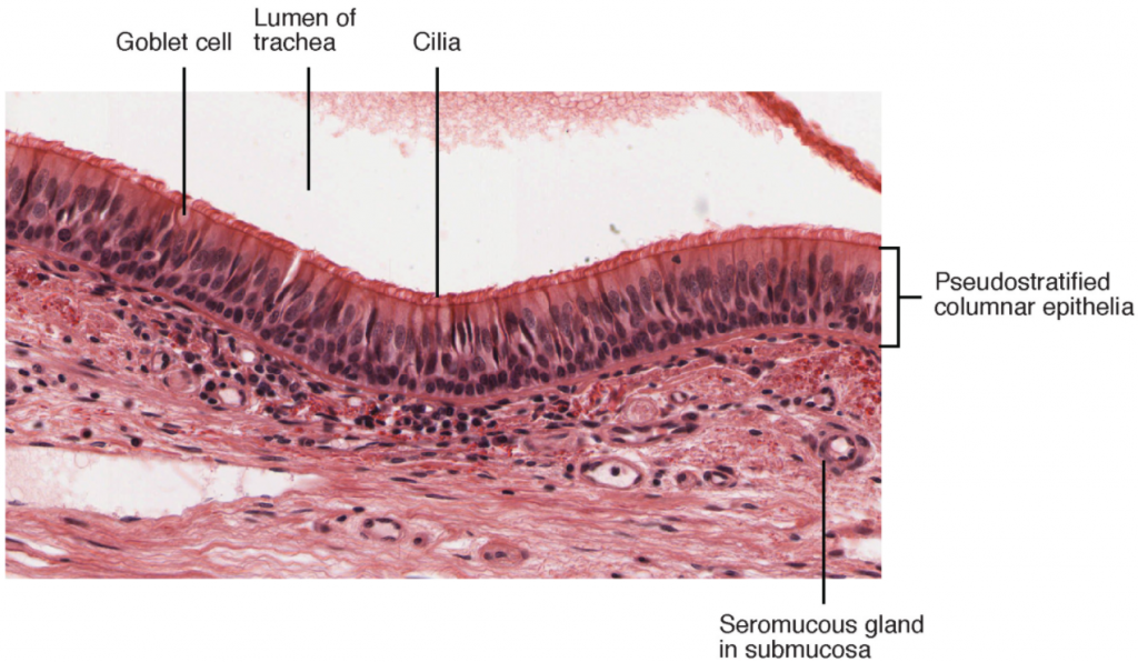 Image of Pseudostratified ciliated columnar epithelium