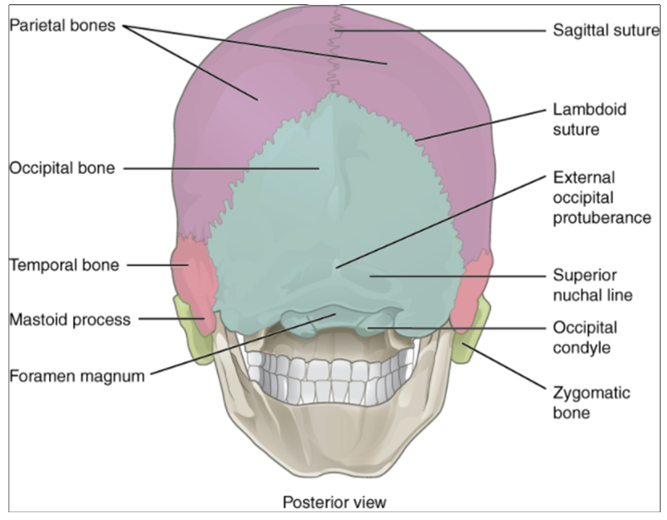 Posterior view of skull.