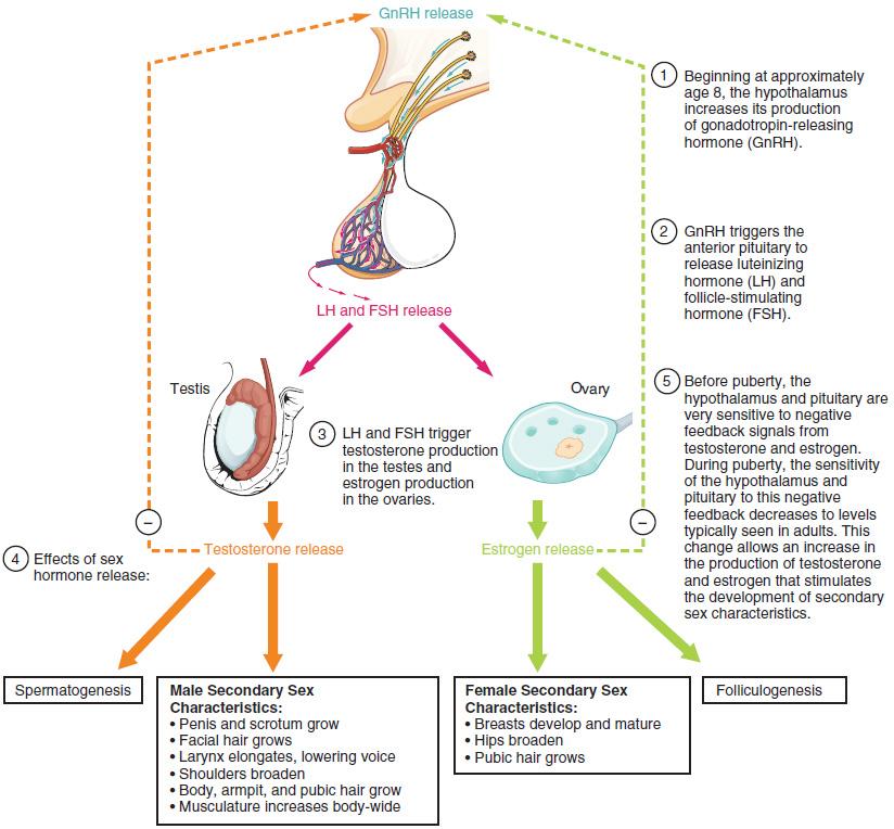 Hormones of puberty in a diagram