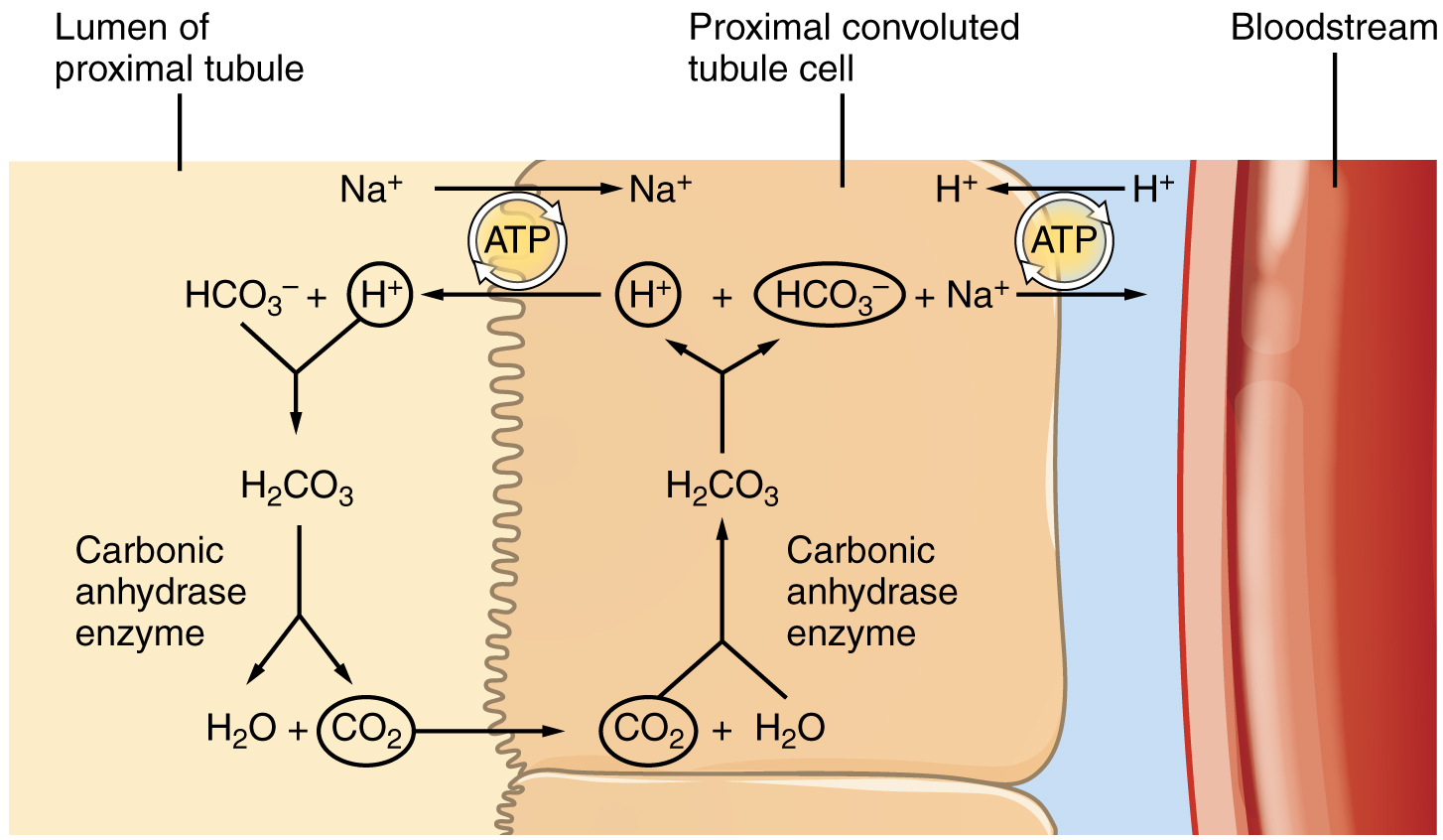 Reabsorption of bicarbonate (HCO3–) from the PCT.