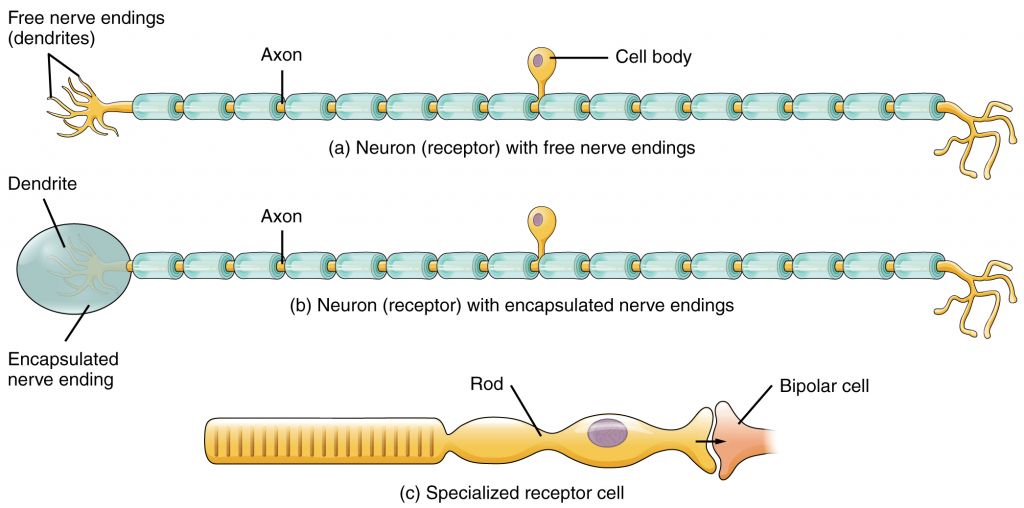 Receptor classification by cell type. Receptor cell types can be classified based on their structure. Sensory neurons can have either (a) free nerve endings or (b) encapsulated endings. Photoreceptors in the eyes, such as rod cells, are examples of (c) specialised receptor cells.