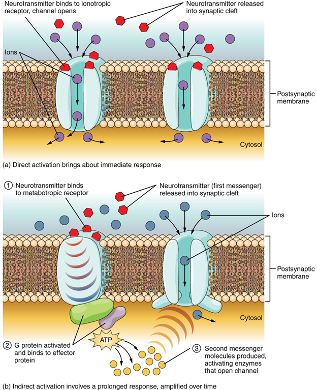 Figure 13.5.4. Receptor types. (a) An ionotropic receptor is a channel that opens when the neurotransmitter binds to it. (b) A metabotropic receptor is a complex that causes metabolic changes in the cell when the neurotransmitter binds to it (1). After binding, the G protein hydrolyses GTP and moves to the effector protein (2). When the G protein contacts the effector protein, a second messenger is generated, such as cAMP (3). The second messenger can then go on to cause changes in the neuron, such as opening or closing ion channels, metabolic changes, and changes in gene transcription.