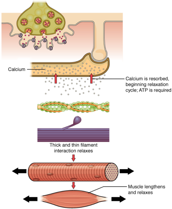 Diagram of Relaxation of a muscle fibre.