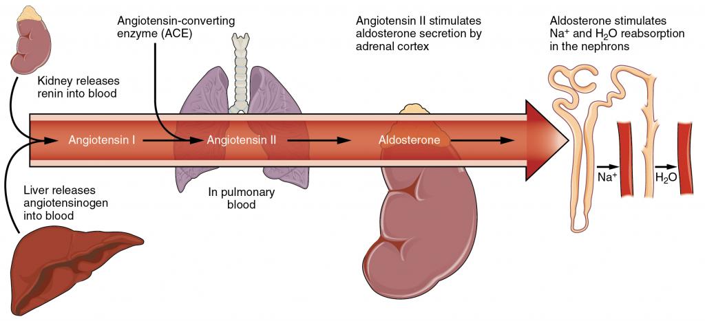 Diagram of The renin-angiotensin-aldosterone system